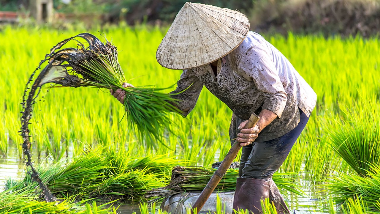 circuit-vietnam-plantation-riz-2.jpg