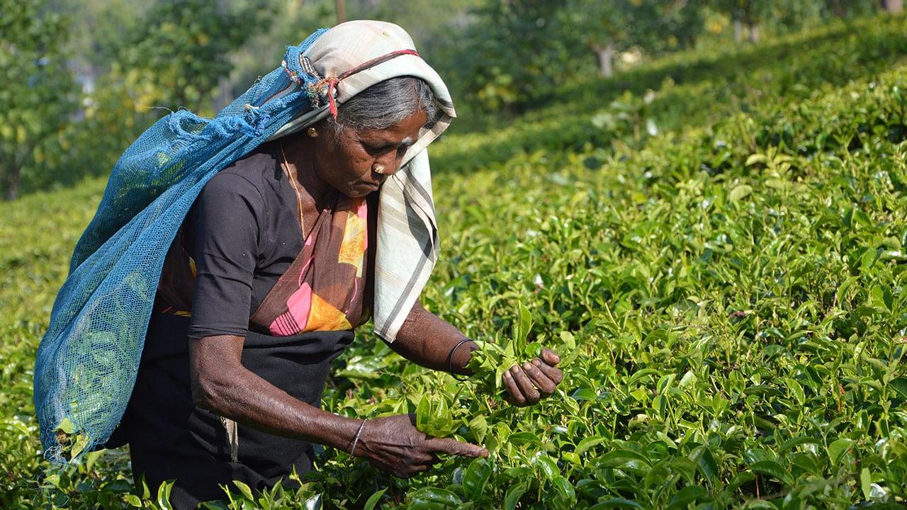 Voyage Sri Lanka cueilleuse thé