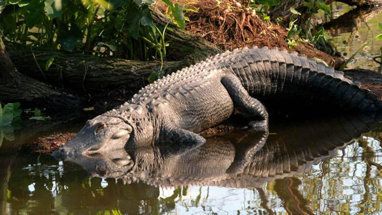 Survoler en tyrolienne une piscine remplie d'alligators en Floride, une expérience amusante pour les plus téméraires !